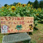 徳島県美馬町城のひまわり迷路