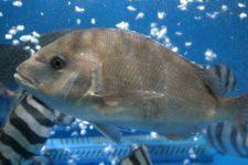 鯛料理には徳島県の鳴門鯛がおすすめ