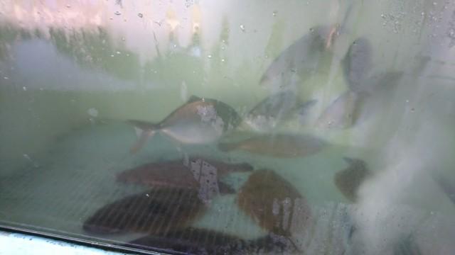 びんび家 ひらめ 鳴門鯛