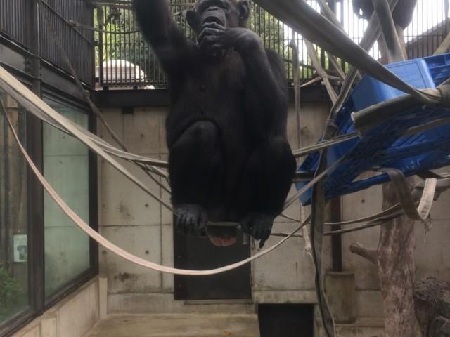 とくしま動物園 みっちゃん ミチオ チンパンジー