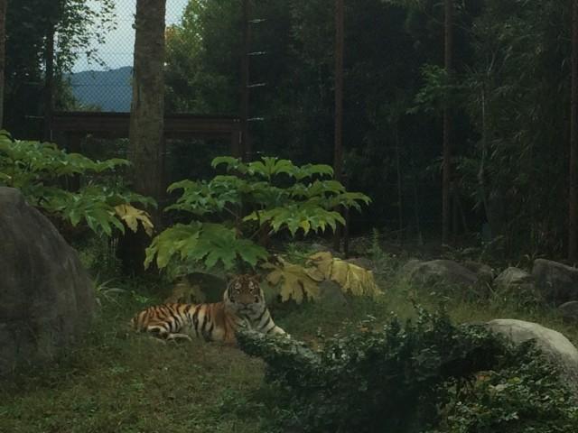 アムールトラ とくしま動物園