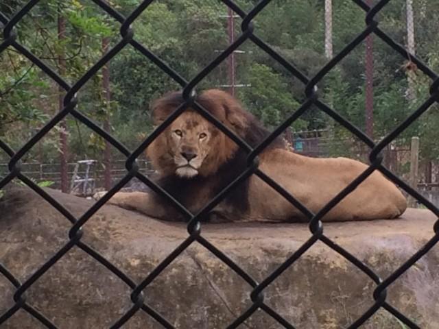 とくしま動物園 ライオン